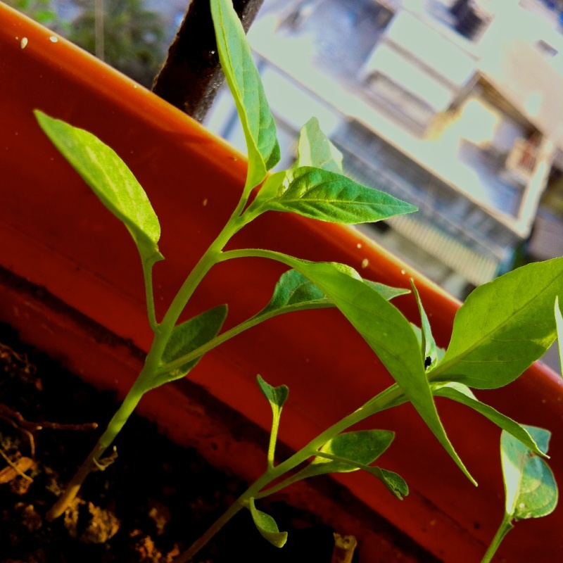 Baby Chilli Plants