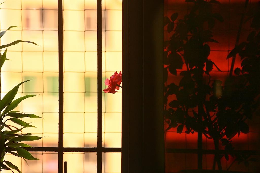 A peeking rose
